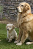 I can shake!- 45/52WFDs Atticus, 7DWF -Fauna (Karon Elliott Edleson) Tags: puppy goldens goldenretriever bestbuds goldenpuppy atticus mojave 52wfds