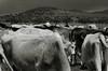 Family (Meny.Rivas) Tags: vaca sky monta mountain cow cowboy vaquero campo farm baw bw blackandwhite blancoynegro sepia old monocrome monocromo biancoenero