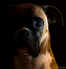 Lucy's Portrait (chuck_raup) Tags: boxer dog portrait brown white black eye nose lowlight nikon d500 nikond500
