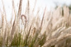 Grass Seed Test for Nikon D850 (Pexpix) Tags: grasses contrejour focus test seedheads plants dof 攝影發燒友