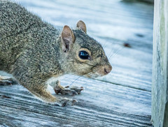 Porch Squirrel (MurrayH77) Tags: nc obx frisco hatteras island squirrel mammal