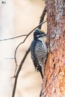 ''Lifer!'' Pic à dos rayé-American Three-toed woodpecker