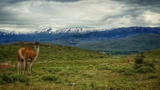 Guanaco in Chile, inside the Torres Del Paine parque nacional.