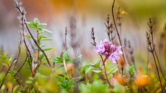 (Angelika Goleniewicz / zurial.fi) Tags: nature nordicnature nordic plant plants moss flora floral botany botanical grass flower closeup macro meadow field forest outdoor joensuu finland floraoffinland