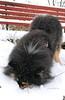 Aiko is checking his NoseBook account 😆. (evakongshavn) Tags: dog dogsonadventures dogs snowdog dogsofnorway flickrdogs dogsthathike dogportrait dogphotography snow sniffsniff photoshoot photooftheday unlimitedphotos photography photo photooftoday fineartphotography outdoorphotography outsidepictures outhiking outdoordogs outdoors outdoorsphotography bestdogever bestfriendsforever bestdog mansbestfriend finnishlapphund suomenlapinkoira lapinkoira lappie lapphund