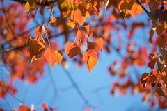 20171201 近所の緑道【ナンキンハゼ】 (syashindorakunin) Tags: 近所の緑道 黄葉 autumnleaves triadicasebifera japan greenroadinthenearfield