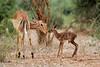 Aepyceros melampus ♀ (Impala) - South Africa (Nick Dean1) Tags: aepycerosmelampus impala antelope southafrica krugernationalpark animalia chordata canon canon7d 600mm wildlifecanon600mmf4 pafuri crookscorner ewe lamb newborn