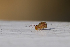 Springtail (brucetopher) Tags: macro bug springtail winter collembola spring jump insect small tiny creature animal microcosm 7d canon100mm canon littlecow microcow graze smallworld