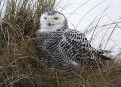 Snowy owl (Bubo scandiacus), Vlieland, Netherlands (Frank.Vassen) Tags: vlieland buboscandiacus bubo nyctea nycteascandiaca netherlands niederlande nederland harfangdesneiges digiscoping chouetteharfang schneeeule sneeuwuil