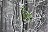 #FlickrFriday #DecemberRain (KaiKugler) Tags: flickrfriday decemberrain highkey snow tree greenleafs