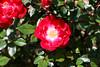 Maig_1474 (Joanbrebo) Tags: barcelona catalunya españa es park parque parc parccervantes garden jardí jardín rosa rose flors flores flowers fleur fiori blumen blossom canoneos70d eosd efs18135mmf3556is autofocus