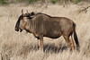 Connochaetes taurinus ♀ (Blue Wildebeest) - South Africa (Nick Dean1) Tags: connochaetestaurinus wildebeest bluewildebeest satara krugernationalpark southafrica animalia chordata bovidae