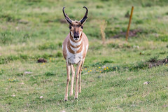 _MG_0044-2.jpg (nbowmanaz) Tags: antelope windcave southdakota animals