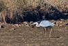 D50_6406.jpg (ManuelSilveira) Tags: fauna aves garcareal óbidos leiria portugal pt