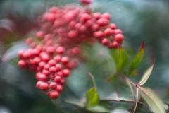 _DSC7754 (kymarto) Tags: bokeh bokehlicious bokehphotography dof depthoffield nature naturephotography beauty beautiful sony sonyphotography sonya7r2 oldlens vintagelens dallmeyeroctac heavenlybamboo nandia berries seasonal