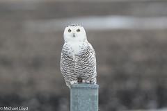 Snowy Owl (mobull_98) Tags: snowyowl