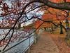 Autumn in Washington, DC (` Toshio ') Tags: toshio dc washington washingtondc tidalbasin cherryblossoms sidewalk water fall autumn iphone8plus