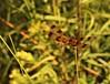 Halloween Pennant (robertemond) Tags: black pennant halloween animal insect stmarksnationalwildliferefuge orange dragonfly halloweenpennant