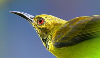 Shiny Sunbird