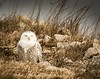 Sleepy Girl . . . (Dr. Farnsworth) Tags: owl bird snowyowl female tired sleepy eyes closed sunshine muskegon mi michigan fall november2017