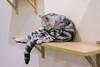 DSC02867 (Wang Foto - 0969 92 97 91) Tags: cat cute pet photography animal cuties kitten kitty lovely tiny mycat babycat sonya7r carlzeiss scottishfold britishshorthair scottishcat catphoto cutecats wangfotovn