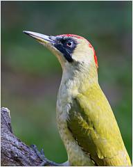 Picchio verde (fausto.deseri) Tags: picusviridis greenwoodpecker picchioverde wildlife nature birds wild nikond7100 nikkor300mmf28afsii nikontc17eii faustodeseri