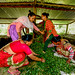 Women from the Binayi Community Forest User Group prepare lantana for green manure