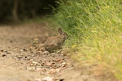Rabbits (Gogolac) Tags: 2017 aves birdphotography birdie birds canon7dmii crotonpointpark fauna leporidae location newyork otoño park rabbit season usa year birdspot birdingrd birdsspotters fotografiasrealizadasenel2017