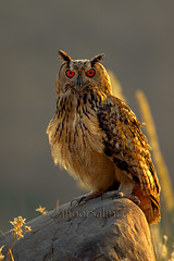 Bengal Eagle Owl (Zahoor-Salmi) Tags: zahoorsalmi salmi wildlife pakistan wwf nature natural canon birds watch animals bbc flickr google discovery chanals tv lens camera 7d mark 2 beutty photo macro action walpapers bhalwal punjab