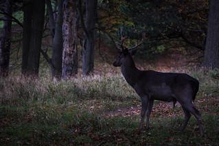 Deer from Phoenix Park, Dublin