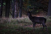 Deer from Phoenix Park, Dublin (Adrià Páez) Tags: deer from phoenix park dublin ciervo fenix parque ireland irlanda leinster animal nature naturaleza trees árboles vegetation vegetación europa europe canon eos 7d mark ii