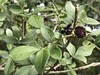 Zanthoxylum syncarpum Tull. -  Fam. Rutaceae (robertoguerra10) Tags: limaozinho syncarpum zanthoxylum semente black preta negra fruto seco