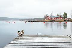 november (@Tuomo) Tags: finland jyväskylä säynätsalo autumn winter päijänne lake birds nikon d810 nikkor 1635mm4 landscape north nordic cold