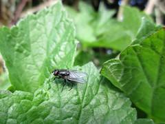 Black Fly Day Friday (JulieK (thanks for 6 million views)) Tags: fly diptera ireland irish jfkarboretum canonixus170 fauna insect hfdf flydayfriday beautifulnature wexford macro