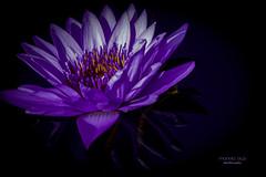 purple glow (mariola aga) Tags: flower lily waterlily closeup purple black background dark glow