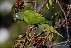 Blue-crowned Parakeet (Kevin B Photo) Tags: kevinbarry bluecrownedparakeet browardcountyflorida green gumbolimbo fruit nature nonnative bird morning horizontal
