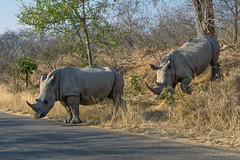 White rhinos crossing road 1 (NettyA) Tags: 2017 africa ceratotheriumsimum krugernationalpark southafrica animal rhino rhinoceros safari travel whiterhinoceros wildlife crossing road
