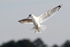 Ring-billed Gull hovering...6O3A4447A (dklaughman) Tags: ringbilled gull primehooknwr delaware