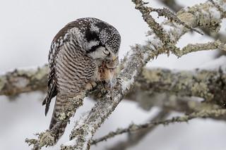 Northern Hawk Owl-45293.jpg