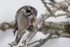 Northern Hawk Owl-45293.jpg (Mully410 * Images) Tags: saxzimbog birding owl birds birder birdwatching hawkowl tree avian mouse bird birdsofprey eating northernhawkowl prey raptor lichen bog