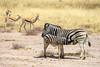 Mother zebra nursing her foal (ch.gunkel) Tags: africa afrika etoscha etosha fohlen namibia natur savanne tierwelt foal nature savanna wildlife zebra