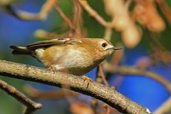 Goldcrest (Mr Quick) (paul.taylorptct) Tags: smallest britain fast quick norfolk wildlife trust ranworth