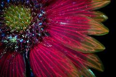 Blanketflower Blooming 5 s (C. Burrows) Tags: uvivf flower botany nature blanketflower
