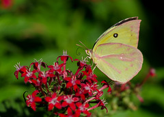 Another view (KsCattails) Tags: botanicalgarden butterfly fallform kansas kscattails macro overlandparkarboretum pentas southerndogface