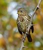 Fall Fox (ebirdman) Tags: foxsparrow fox sparrow passerellailiaca passerella iliaca