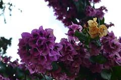Bougainvillea [Velj Losjni - 10 August 2017] (Doc. Ing.) Tags: 2017 losinj croatia summer seaside velilosinj bougainvillea purple plant flowers kvarnergulf kvarner pink