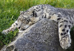 Busy day (markbuckley1) Tags: leopard snowleopard dublin zoo busy lazy lazyafternoon relax snooze sleep bored content