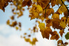 What if I fall? Oh, but my darling, what if you fly? (_Natasa_) Tags: autumn mellow leaves yellow yellowleaves nature art bokeh dof canon canoneos7d canonef2470mmf28liiusm natasaopacic natasaopacicphotography tree derby
