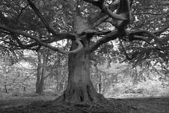 The Beech (Greg Hitchcock) Tags: beech tree fagus fagussylvatica woodland ancient veteran kent england uk perrywood forest old monochrome blackandwhite blackwhite panasonic lumix lx7