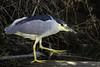 Black-Crowned Night Heron (PrettyCranium) Tags: bird birds animal animals nature wildlife san diego heron blackcrowned night
